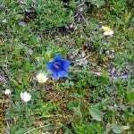 Enzianblüte in Hochfügen