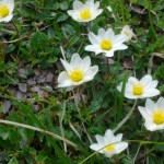 Schmuckblumen