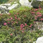 Almrosenblüte in Hochfügen