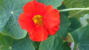 Kapuzinerblüte
