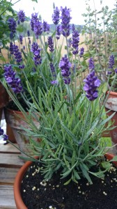 Lavendel....